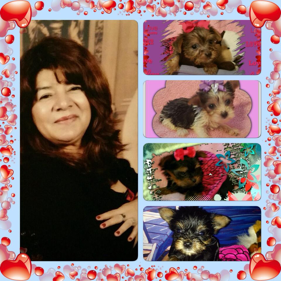 yorkie breeder houston tx