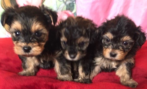 Morkie Males for Sale houston